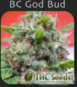 BC God Bud Seeds by THC SEEDS