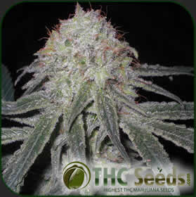Haze Superior by THC SEEDS