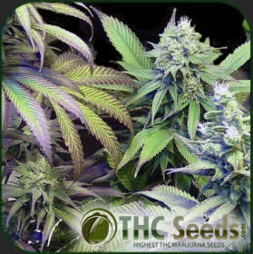 Purple Haze by THC SEEDS