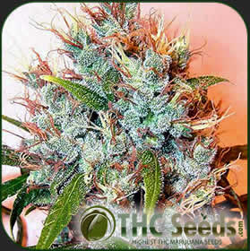 Sour Diesel by THC SEEDS