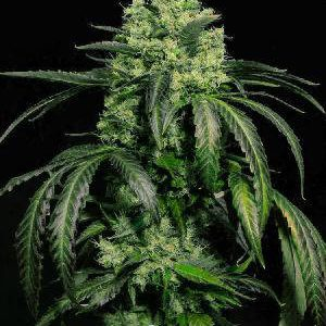 Doctor Green Feminized