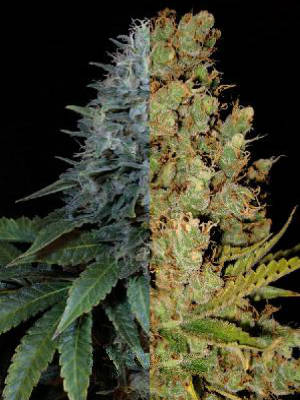 Auto Feminized Sativa Seeds