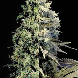 Fast Flowering Feminized