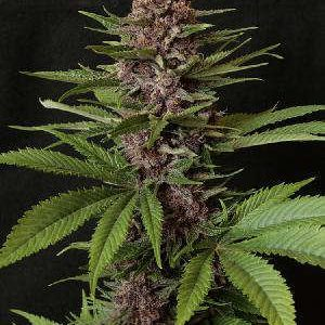 Purple Pleasure Feminized