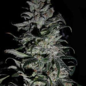 Sweet Tooth Feminized